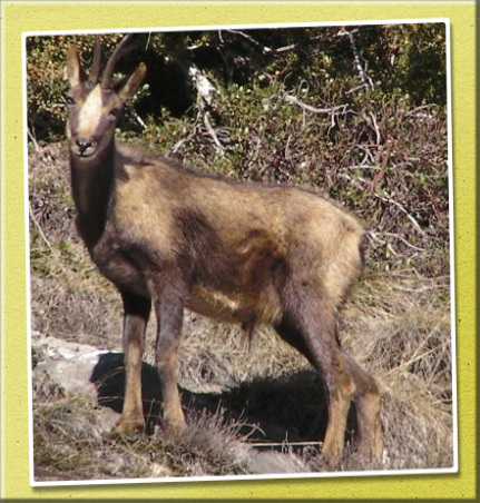 Andorra Isard, the Pyrenean Chamois